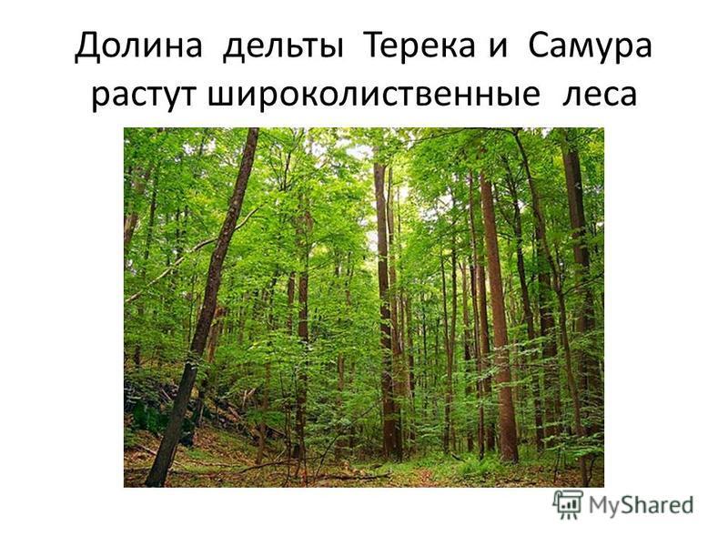 Долина дельты Терека и Самура растут широколиственные леса