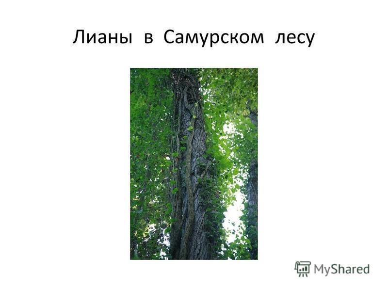 Лианы в Самурском лесу