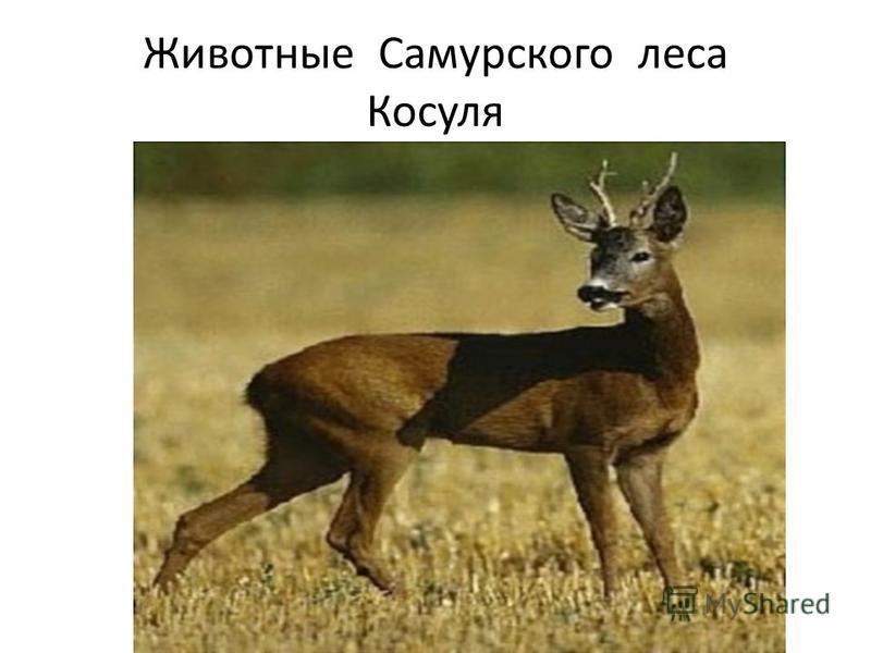 Животные Самурского леса Косуля