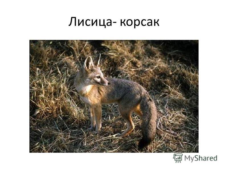 Лисица- корсак