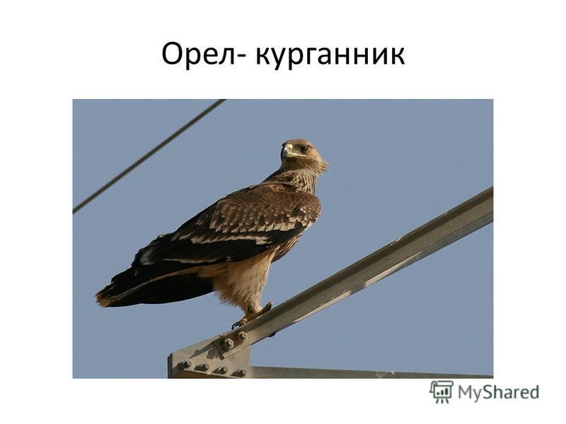 Орел- курганник