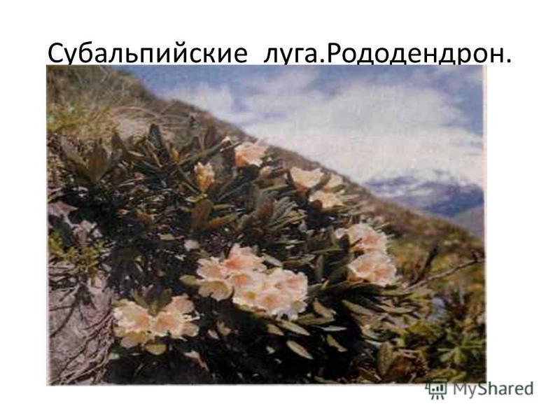 Субальпийские луга.Рододендрон.