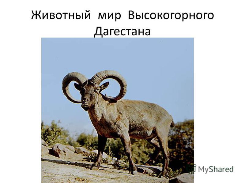 Животный мир Высокогорного Дагестана
