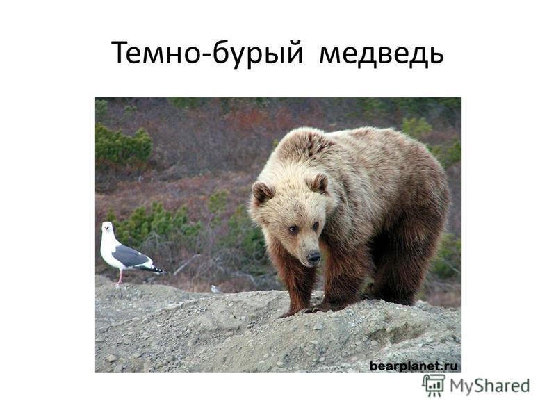 Темно-бурый медведь