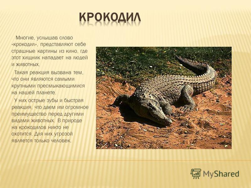 Многие, услышав слово «крокодил», представляют себе страшные картины из кино, где этот хищник нападает на людей и животных. Такая реакция вызвана тем, что они являются самыми крупными пресмыкающимися на нашей планете. У них острые зубы и быстрая реак