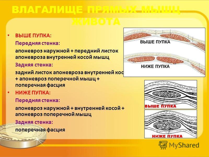 ВЛАГАЛИЩЕ ПРЯМЫХ МЫШЦ ЖИВОТА ВЫШЕ ПУПКА: Передняя стенка: апоневроз наружной + передний листок апоневроза внутренней косой мышц Задняя стенка: задний листок апоневроза внутренней косой + апоневроз поперечной мышц + поперечная фасция НИЖЕ ПУПКА: Перед