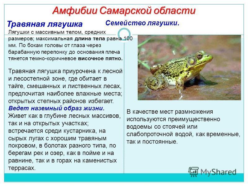Амфибии Самарской области Травяная лягушка Лягушки с массивным телом, средних размеров; максимальная длина тела равна 100 мм. По бокам головы от глаза через барабанную перепонку до основания плеча тянется темно-коричневое височное пятно. Травяная ляг