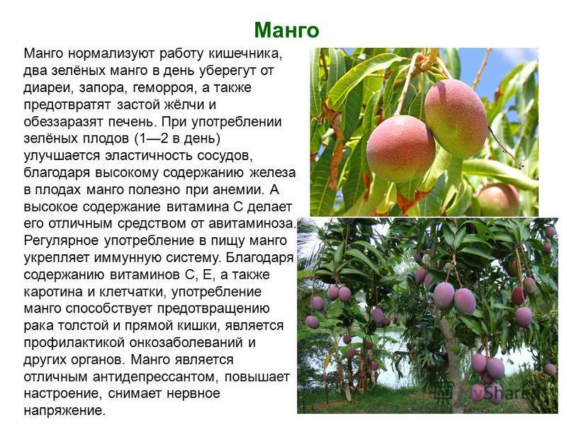 Манго Манго нормализуют работу кишечника, два зелёных манго в день уберегут от диареи, запора, геморроя, а также предотвратят застой жёлчи и обеззаразят печень. При употреблении зелёных плодов (12 в день) улучшается эластичность сосудов, благодаря вы