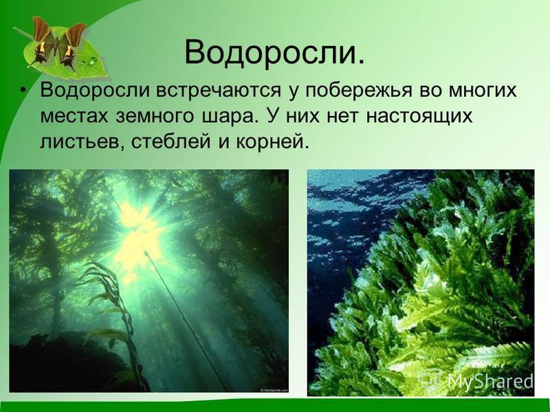 Водоросли. Водоросли встречаются у побережья во многих местах земного шара. У них нет настоящих листьев, стеблей и корней.