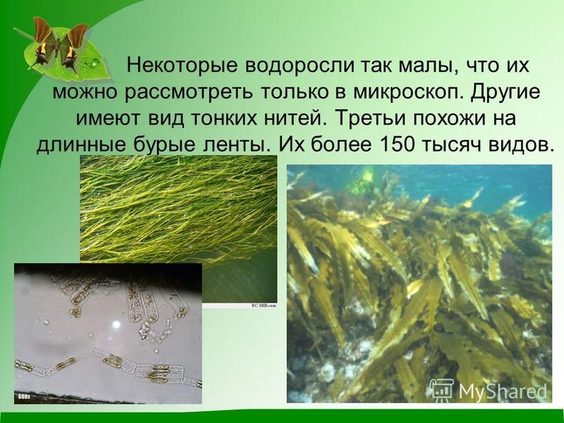 Некоторые водоросли так малы, что их можно рассмотреть только в микроскоп. Другие имеют вид тонких нитей. Третьи похожи на длинные бурые ленты. Их более 150 тысяч видов.