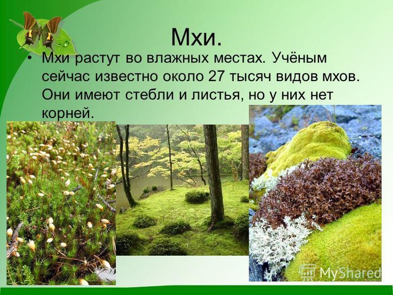 Мхи. Мхи растут во влажных местах. Учёным сейчас известно около 27 тысяч видов мхов. Они имеют стебли и листья, но у них нет корней.