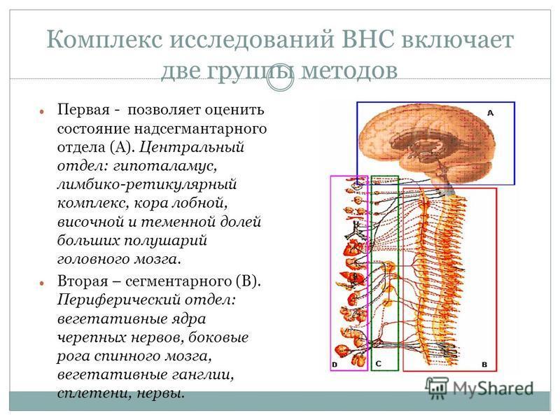 Комплекс исследований ВНС включает две группы методов Первая - позволяет оценить состояние надсегмантарного отдела (А). Центральный отдел: гипоталамус, лимбико-ретикулярный комплекс, кора лобной, височной и теменной долей больших полушарий головного