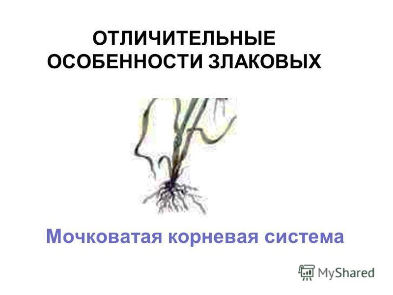 ОТЛИЧИТЕЛЬНЫЕ ОСОБЕННОСТИ ЗЛАКОВЫХ Мочковатая корневая система