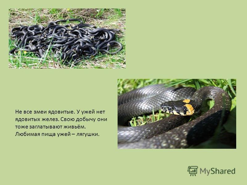 Не все змеи ядовитые. У ужей нет ядовитых желез. Свою добычу они тоже заглатывают живьём. Любимая пища ужей – лягушки.