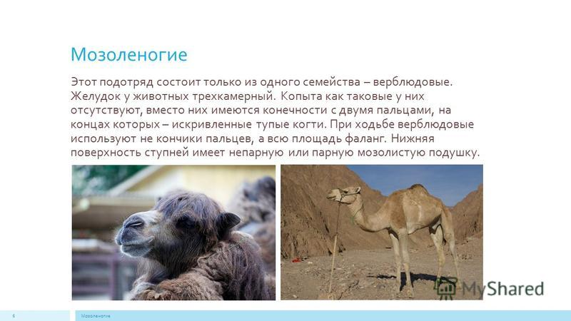 Мозоленогие Этот подотряд состоит только из одного семейства – верблюдовые. Желудок у животных трехкамерный. Копыта как таковые у них отсутствуют, вместо них имеются конечности с двумя пальцами, на концах которых – искривленные тупые когти. При ходьб