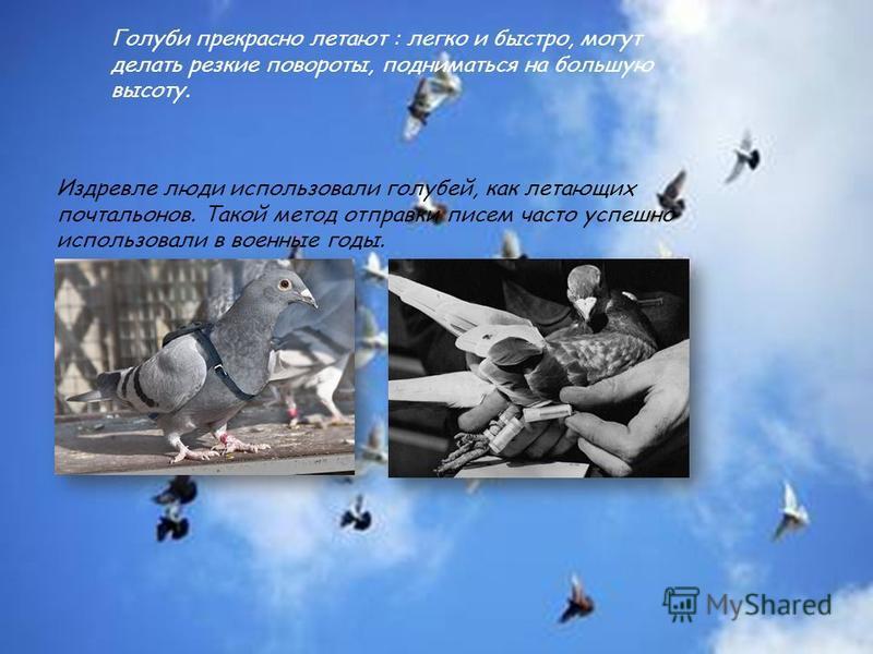 Голуби прекрасно летают : легко и быстро, могут делать резкие повороты, подниматься на большую высоту. Издревле люди использовали голубей, как летающих почтальонов. Такой метод отправки писем часто успешно использовали в военные годы.
