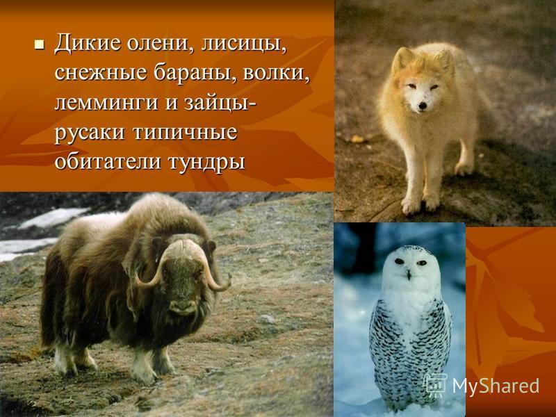 Дикие олени, лисицы, снежные бараны, волки, лемминги и зайцы- русаки типичные обитатели тундры Дикие олени, лисицы, снежные бараны, волки, лемминги и зайцы- русаки типичные обитатели тундры