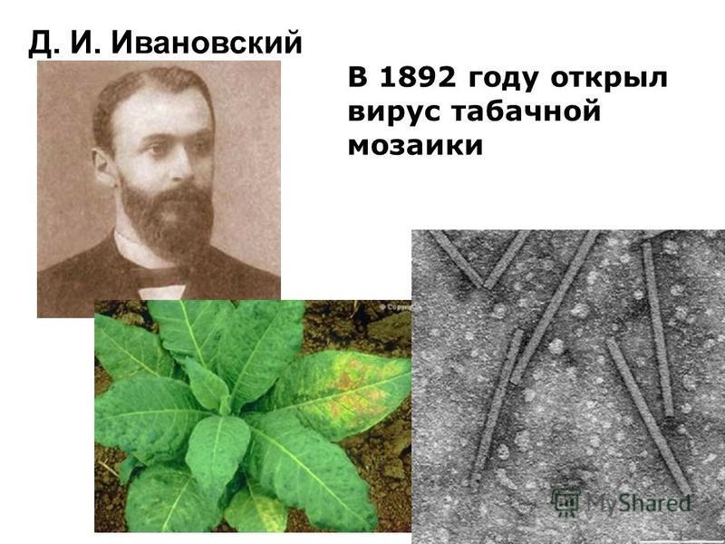 Д. И. Ивановский В 1892 году открыл вирус табачной мозаики