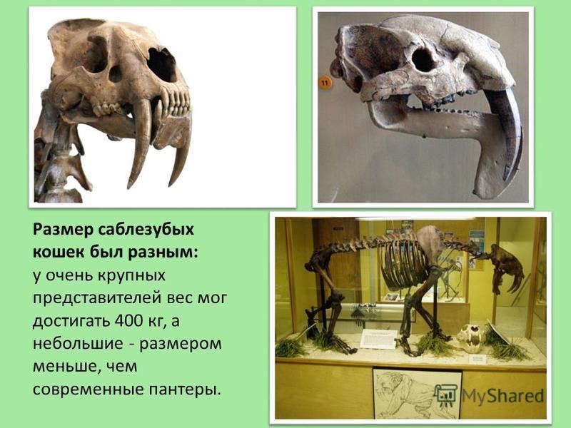 Размер саблезубых кошек был разным: у очень крупных представителей вес мог достигать 400 кг, а небольшие - размером меньше, чем современные пантеры.