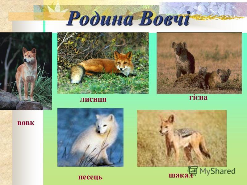 Родина Вовчі вовк лисиця песець гієна шакал