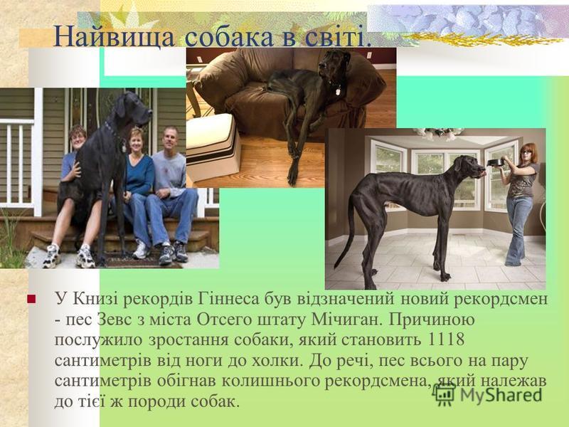 Найвища собака в світі. У Книзі рекордів Гіннеса був відзначений новий рекордсмен - пес Зевс з міста Отсего штату Мічиган. Причиною послужило зростання собаки, який становить 1118 сантиметрів від ноги до холки. До речі, пес всього на пару сантиметрів