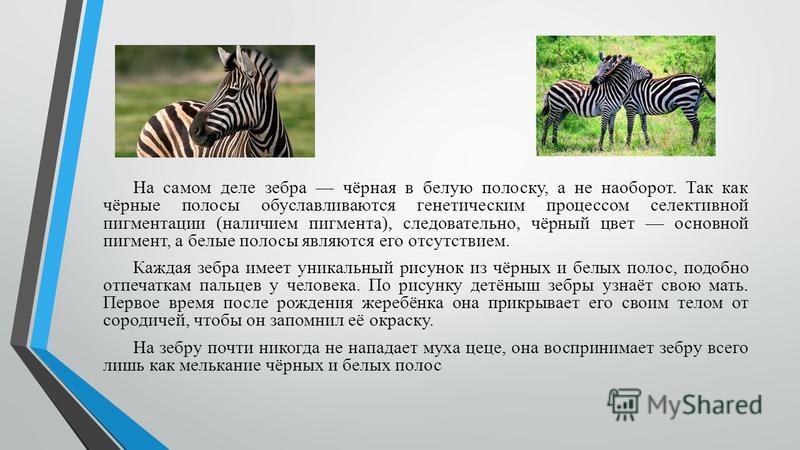 На самом деле зебра чёрная в белую полоску, а не наоборот. Так как чёрные полосы обуславливаются генетическим процессом селективной пигментации (наличием пигмента), следовательно, чёрный цвет основной пигмент, а белые полосы являются его отсутствием.