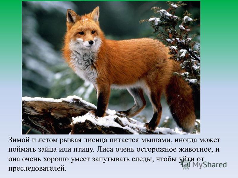 Зимой и летом рыжая лисица питается мышами, иногда может поймать зайца или птицу. Лиса очень осторожное животное, и она очень хорошо умеет запутывать следы, чтобы уйти от преследователей.