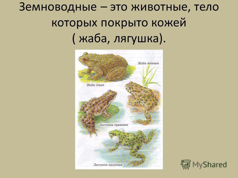 Земноводные – это животные, тело которых покрыто кожей ( жаба, лягушка).