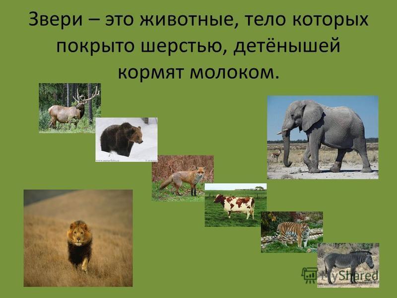 Звери – это животные, тело которых покрыто шерстью, детёнышей кормят молоком.