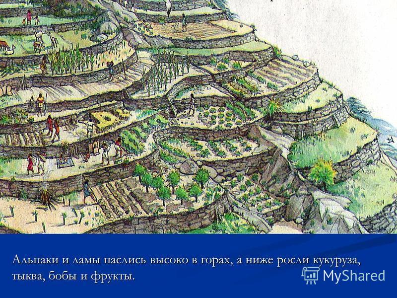 Альпаки и ламы паслись высоко в горах, а ниже росли кукуруза, тыква, бобы и фрукты.