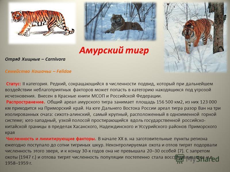 Амурский тигр Отряд Хищные – Carnivora Семейство Кошачьи – Felidae Статус: II категория. Редкий, сокращающийся в численности подвид, который при дальнейшем воздействии неблагоприятных факторов может попасть в категорию находящихся под угрозой исчезно