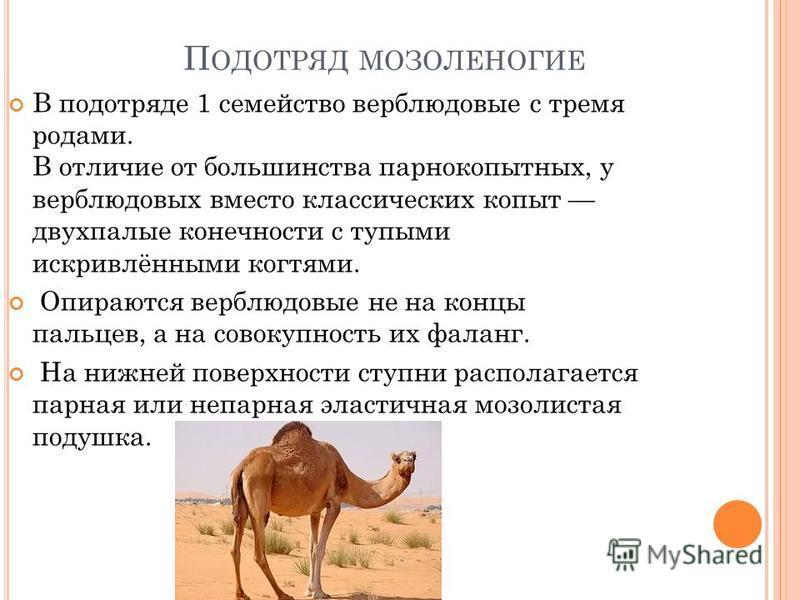 П ОДОТРЯД МОЗОЛЕНОГИЕ В подотряде 1 семейство верблюдовые с тремя родами. В отличие от большинства парнокопытных, у верблюдовых вместо классических копыт двухпалые конечности с тупыми искривлёнными когтями. Опираются верблюдовые не на концы пальцев,