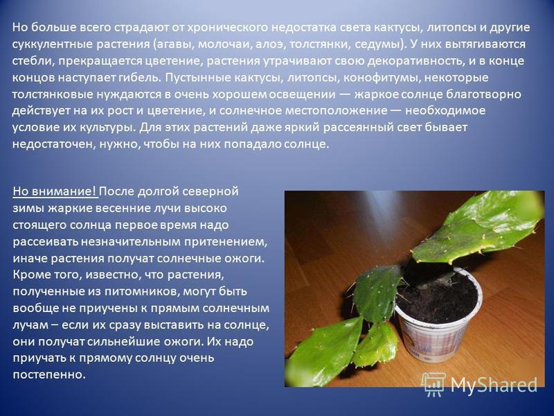 Но больше всего страдают от хронического недостатка света кактусы, литопсы и другие суккулентные растения (агавы, молочаи, алоэ, толстянки, седумы). У них вытягиваются стебли, прекращается цветение, растения утрачивают свою декоративность, и в конце