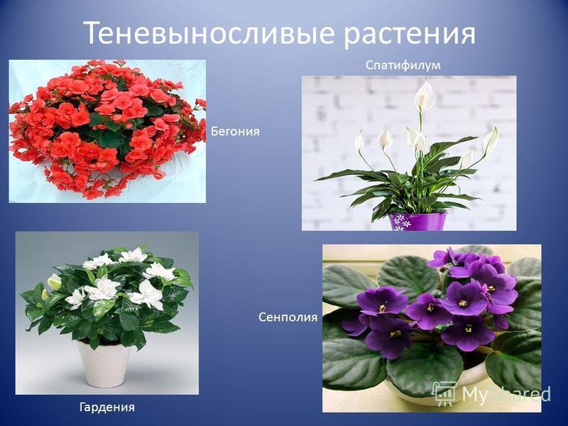 Теневыносливые растения Бегония Спатифилум Гардения Сенполия