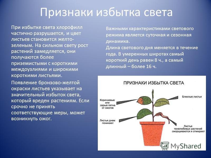 Признаки избытка света При избытке света хлорофилл частично разрушается, и цвет листьев становится желто- зеленым. На сильном свету рост растений замедляется, они получаются более приземистыми с короткими междоузлиями и широкими короткими листьями. П