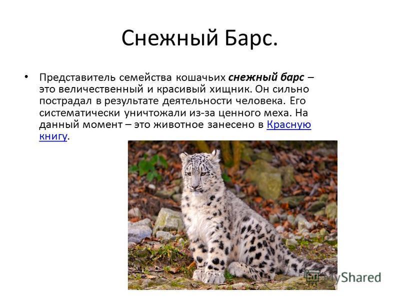 Снежный Барс. Представитель семейства кошачьих снежный барс – это величественный и красивый хищник. Он сильно пострадал в результате деятельности человека. Его систематически уничтожали из-за ценного меха. На данный момент – это животное занесено в К