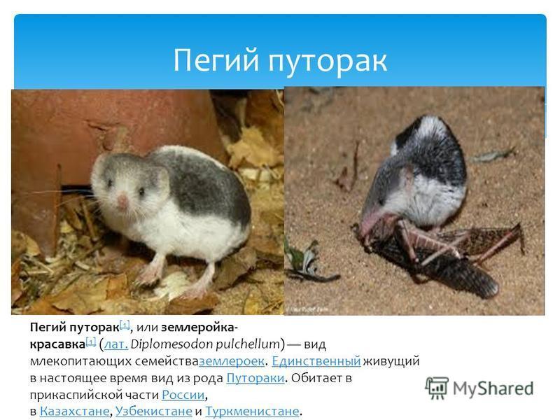 Пегий путорак Пегий путорак [1], или землеройка- красавка [1] (лат. Diplomesodon pulchellum) вид млекопитающих семейства землероек. Единственный живущий в настоящее время вид из рода Путораки. Обитает в прикаспийской части России, в Казахстане, Узбек