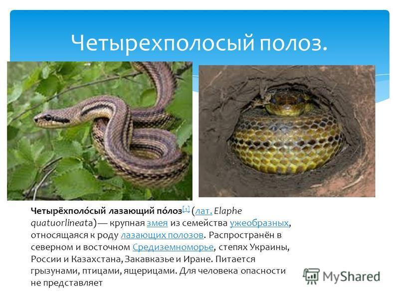 Четырехполосый полоз. Четырёхполо́сый лазающий по́лоз [1] (лат. Elaphe quatuorlineata) крупная змея из семейства ужеобразных, относящаяся к роду лазающих полозов. Распространён в северном и восточном Средиземноморье, степях Украины, России и Казахста