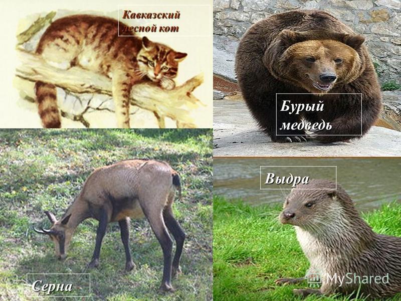 Бурый медведь Выдра Серна Кавказский лесной кот