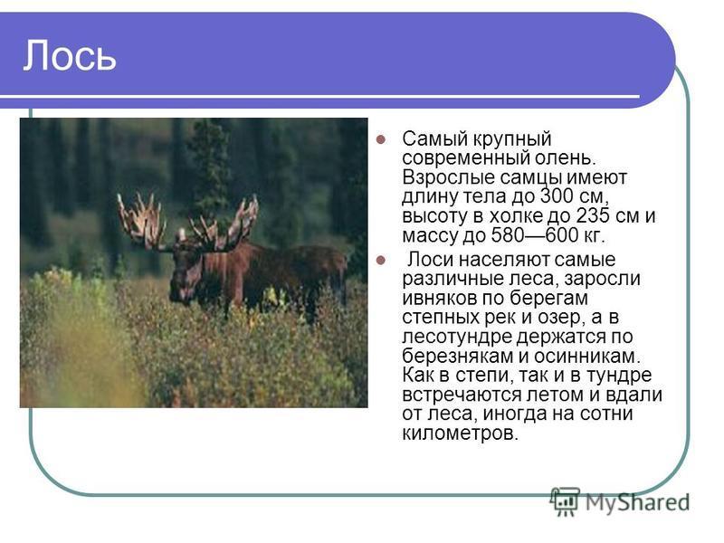 Лось Самый крупный современный олень. Взрослые самцы имеют длину тела до 300 см, высоту в холке до 235 см и массу до 580600 кг. Лоси населяют самые различные леса, заросли ивняков по берегам степных рек и озер, а в лесотундре держатся по березнякам и