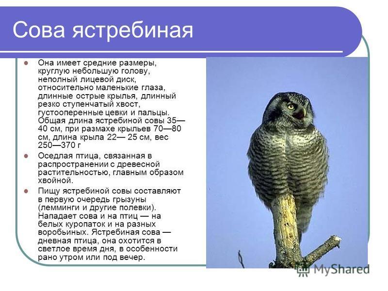 Сова ястребиная Она имеет средние размеры, круглую небольшую голову, неполный лицевой диск, относительно маленькие глаза, длинные острые крылья, длинный резко ступенчатый хвост, густооперенные цевки и пальцы. Общая длина ястребиной совы 35 40 см, при
