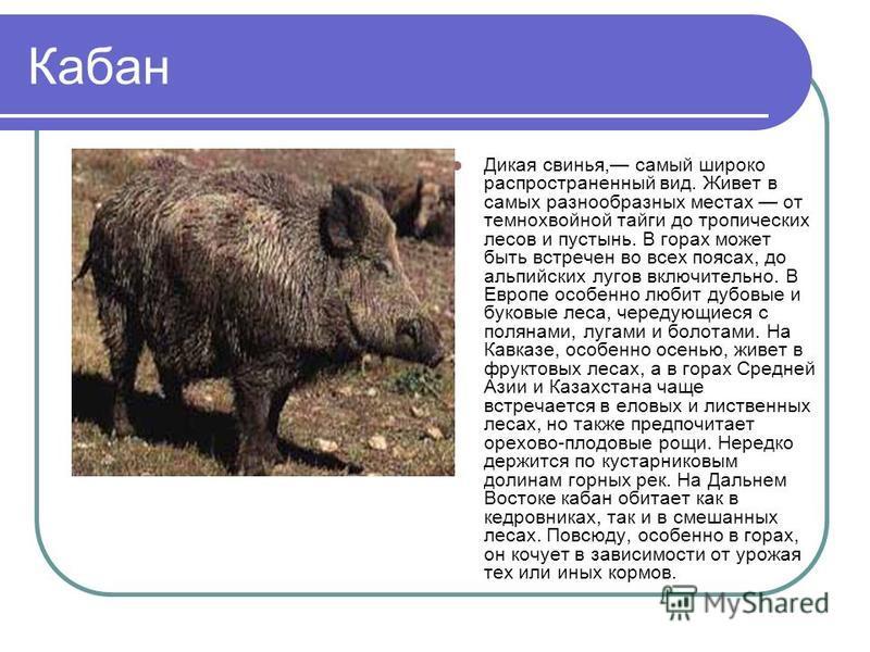 Кабан Дикая свинья, самый широко распространенный вид. Живет в самых разнообразных местах от темнохвойной тайги до тропических лесов и пустынь. В горах может быть встречен во всех поясах, до альпийских лугов включительно. В Европе особенно любит дубо