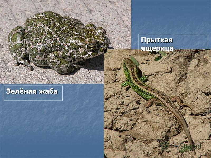 Зелёная жаба Прыткая ящерица