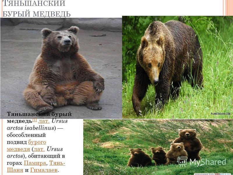 Т ЯНЬШАНСКИЙ БУРЫЙ МЕДВЕДЬ Тяньшанский бурый медведь [1] лат. Ursus arctos isabellinus ) обособленный подвид бурого медведя (лат. Ursus arctos ), обитающий в горах Памира, Тянь- Шаня и Гималаев. [1]лат.бурого медведялат.Памира Тянь- Шаня Гималаев