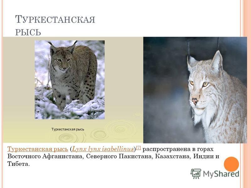 Т УРКЕСТАНСКАЯ РЫСЬ Туркестанская рысь Туркестанская рысь ( Lynx lynx isabellinus ) [7] распространена в горах Восточного Афганистана, Северного Пакистана, Казахстана, Индии и Тибета. Lynx lynx isabellinus [7]
