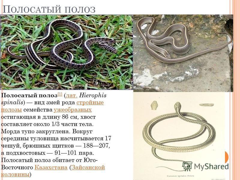 П ОЛОСАТЫЙ ПОЛОЗ Полосатый полоз [1] (лат. Hierophis spinalis ) вид змей рода стройные полозы семейства ужеобразных остигающая в длину 86 см, хвост составляет около 1/3 части тела. Морда тупо закруглена. Вокруг середины туловища насчитывается 17 чешу