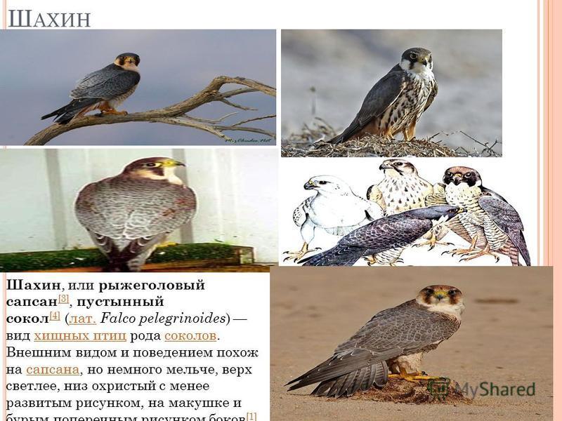 Ш АХИН Шахин, или рыжеголовый сапсан [3], пустынный сокол [4] (лат. Falco pelegrinoides ) вид хищных птиц рода соколов. Внешним видом и поведением похож на сапсана, но немного мельче, верх светлее, низ охристый с менее развитым рисунком, на макушке и