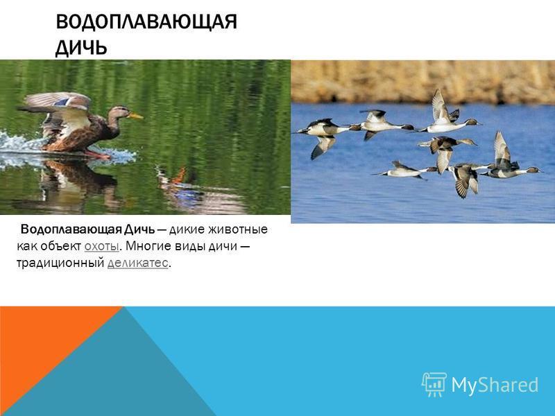 ВОДОПЛАВАЮЩАЯ ДИЧЬ Водоплавающая Дичь дикие животные как объект охоты. Многие виды дичи традиционный деликатес.охоты деликатес