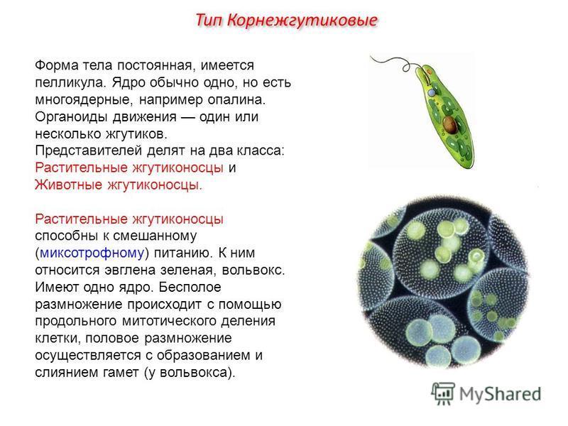 Форма тела постоянная, имеется пелликула. Ядро обычно одно, но есть многоядерные, например опалина. Органоиды движения один или несколько жгутиков. Представителей делят на два класса: Растительные жгутиконосцы и Животные жгутиконосцы. Растительные жг