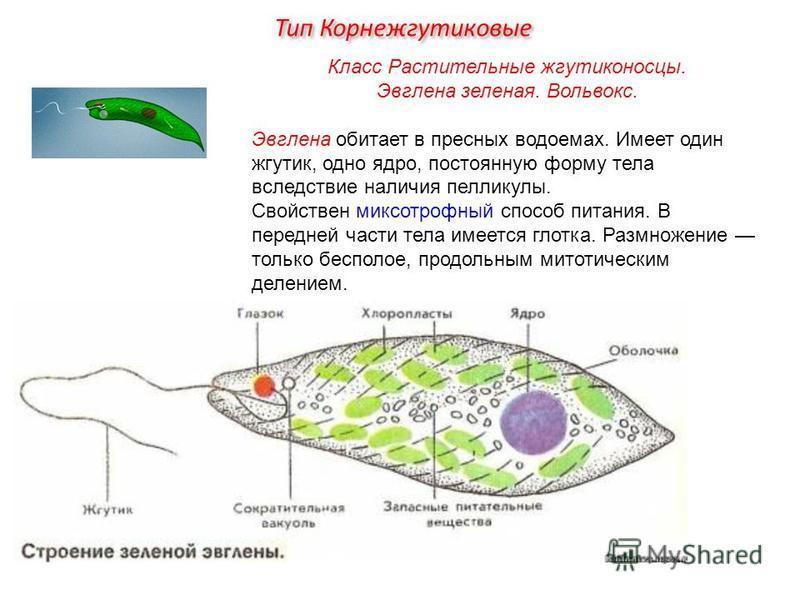 Класс Растительные жгутиконосцы. Эвглена зеленая. Вольвокс. Эвглена обитает в пресных водоемах. Имеет один жгутик, одно ядро, постоянную форму тела вследствие наличия пелликулы. Свойствен миксотрофный способ питания. В передней части тела имеется гло